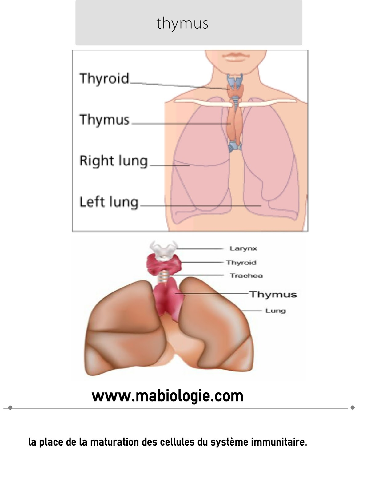 Définition thymus