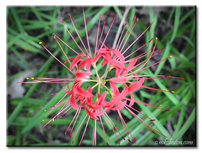 Top view of red spider lily