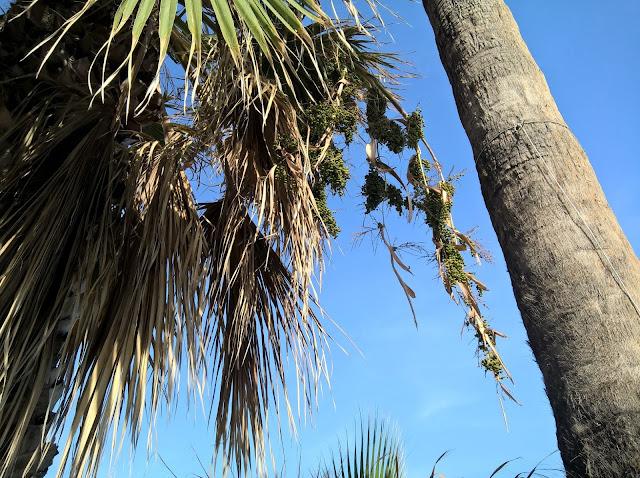 Tronco Washingtonia robusta