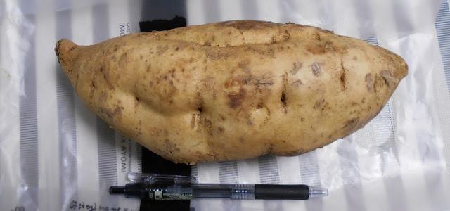 サツマイモの一種…コガネセンガン