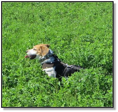Ein Beagle hat Spaß