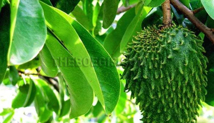 Benefits of soursop leaves for body health