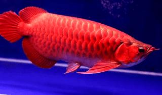 Gambar ikan Arwana Merah