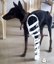 cães com ossos quebrados