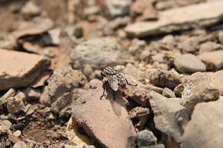 lalat, macro, photography, canon 1100d