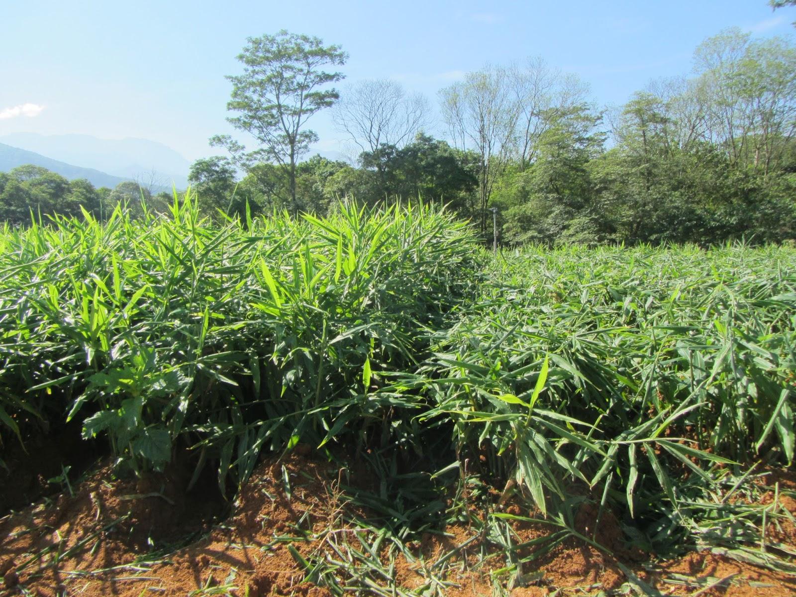 Cultivo del jengibre fotos 9