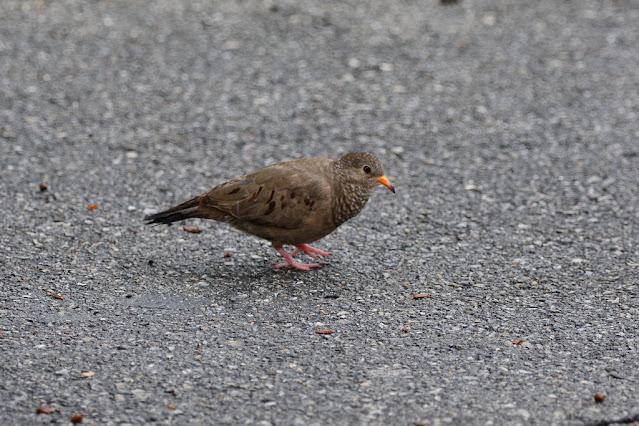 Columbina passerina