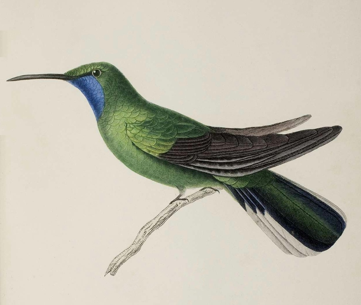 adult hummingbird hand-coloured lithograph