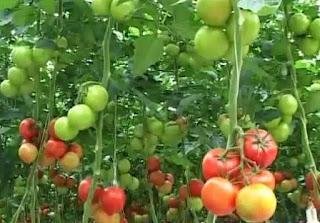 Kebun Tomat