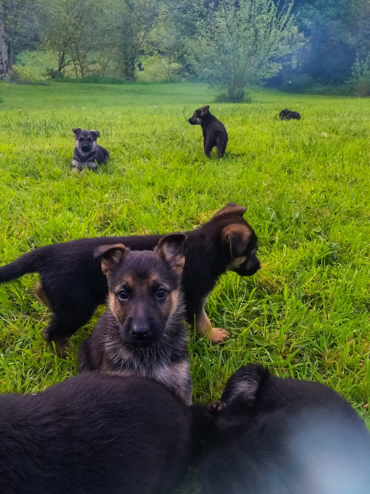 A German Shepherd puppy looking at the camera while her siblings play around her.