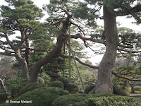 Staked pine - Kenroku-en Garden, Kanazawa, Japan