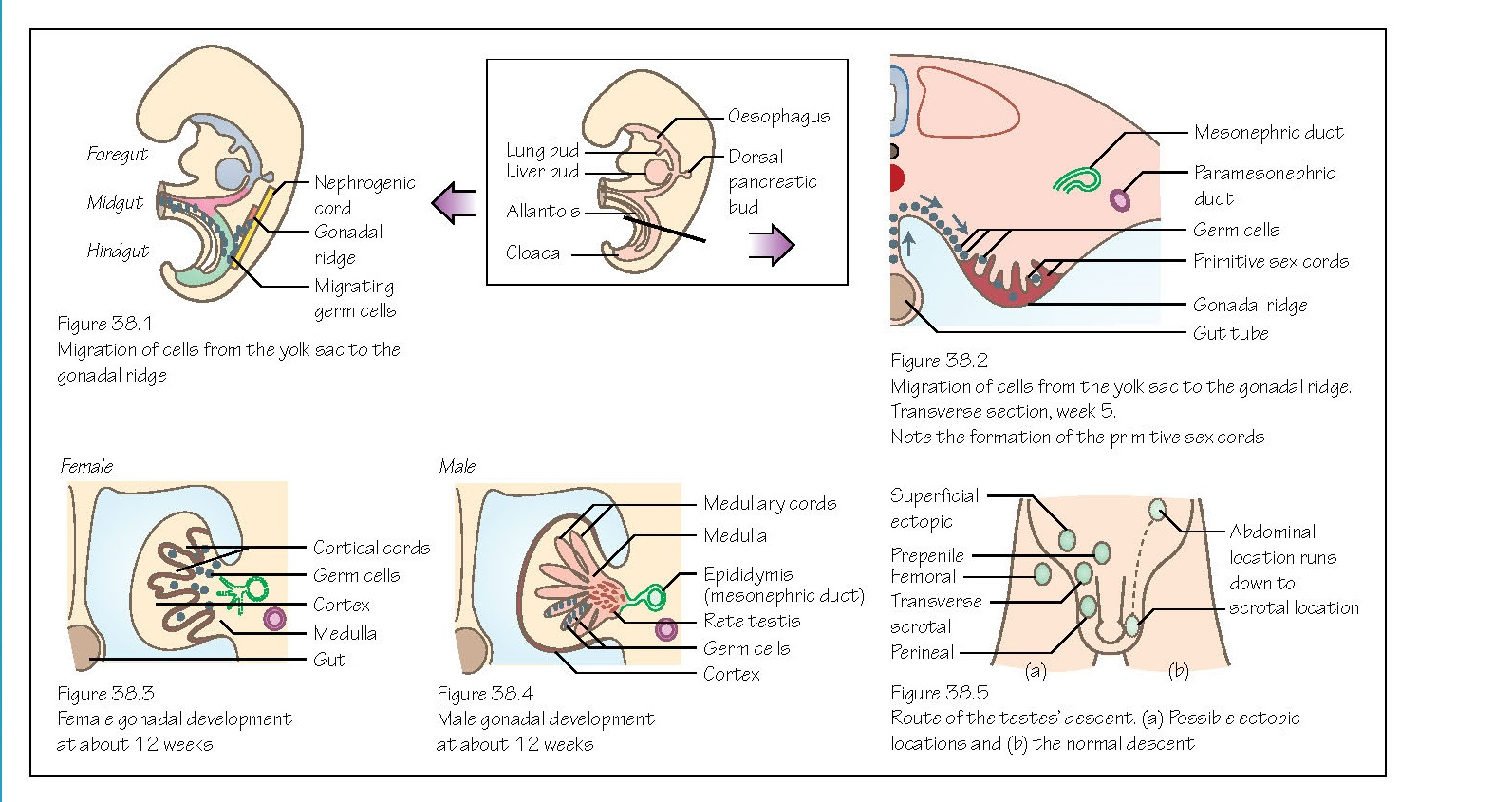 Reproductive System: Gonads