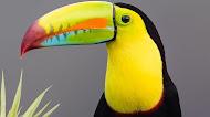 Toucan bird mobile wallpaper