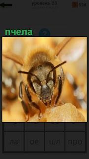 1100 слов морда пчелы крупным планом за работой 23 уровень