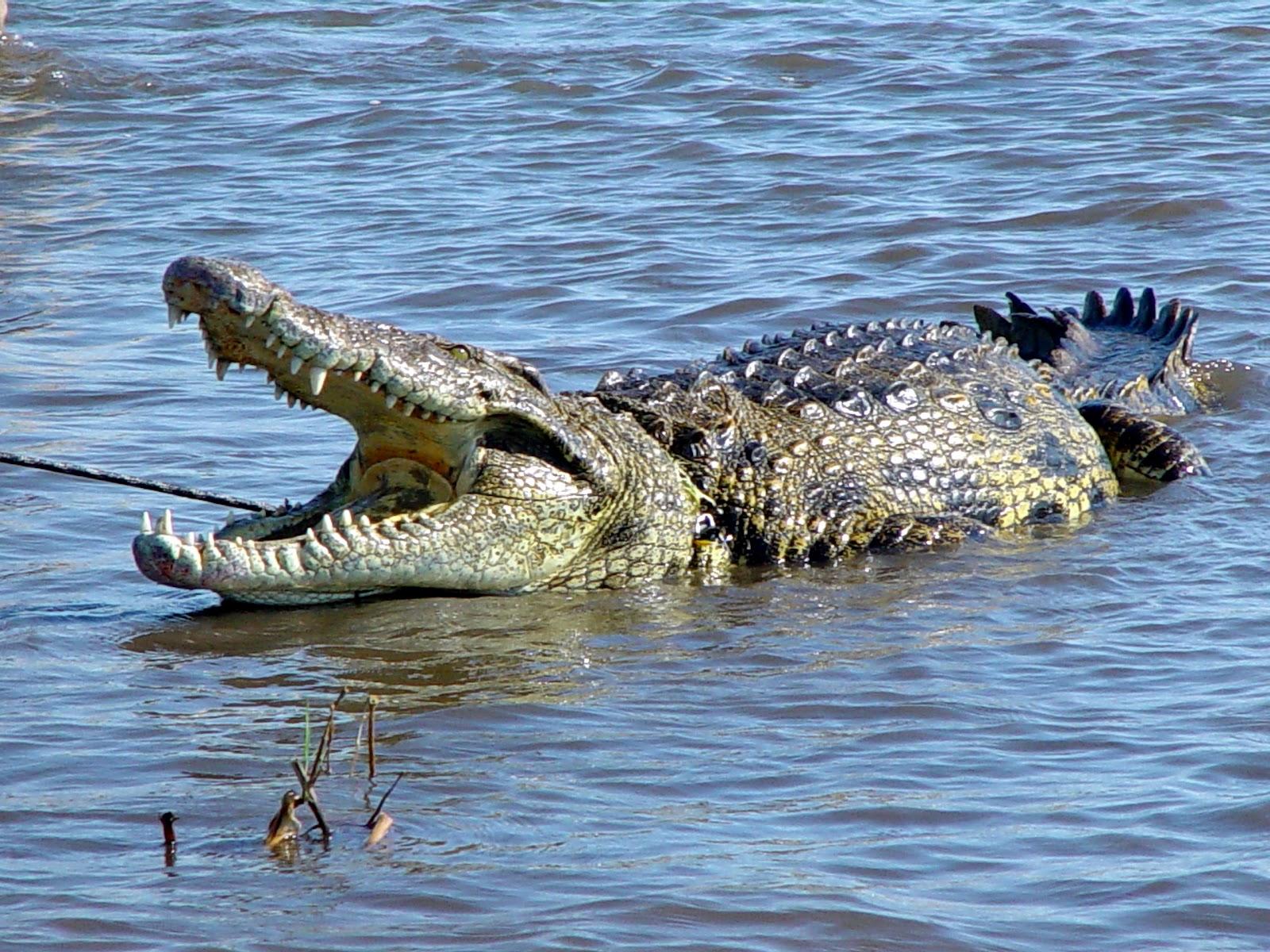 lion vs crocodile facts crocodile America fight crocodile ...