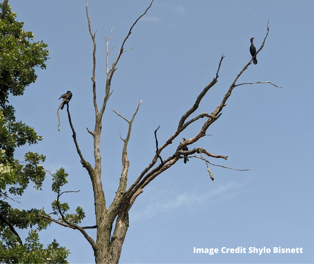 Double-crested cormorants perched in a tree at Busse Lake. Image credit Shylo Bisnett.