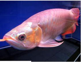 Ikan Hias Air Tawar Termahal Arwana Super Red
