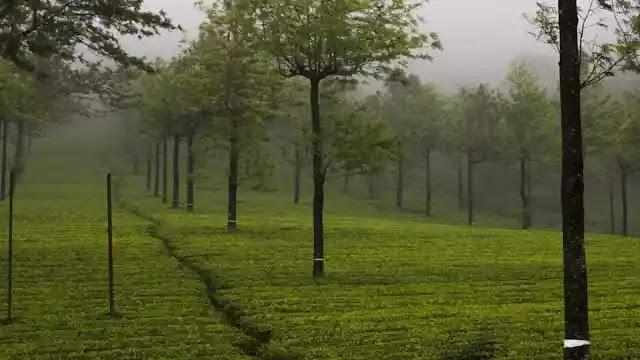 What Is Munnar? Kerala Emerald Tea Plantations