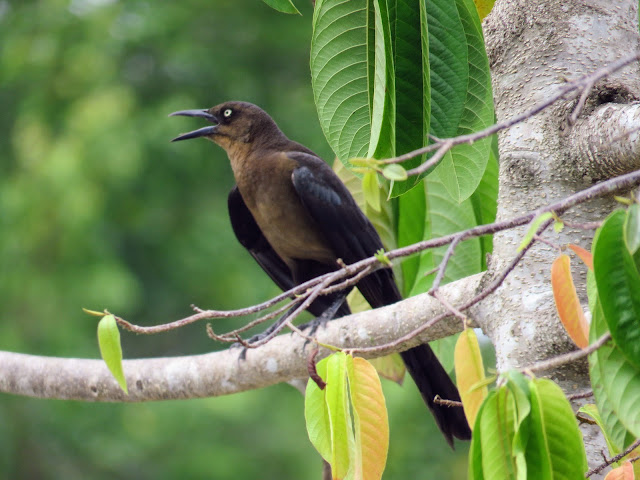 Costa Rica Birds: Great tailed grackle