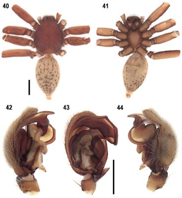 ilustração da aranha Extraordinarius klausmeinei. Dentro da imagem há cinco ilustrações da aranha em ângulos diferentes.