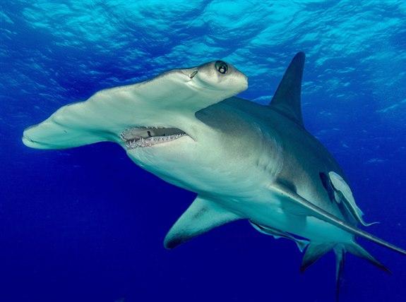 Çekip köpek balığı - Ç Hayvan İsimleri