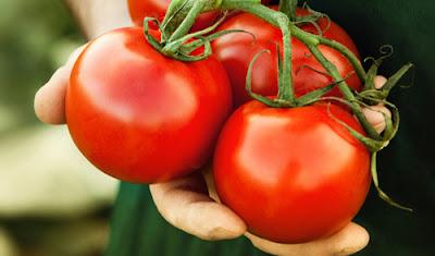 cà chua leo giàn,cà chua bạch tuộc