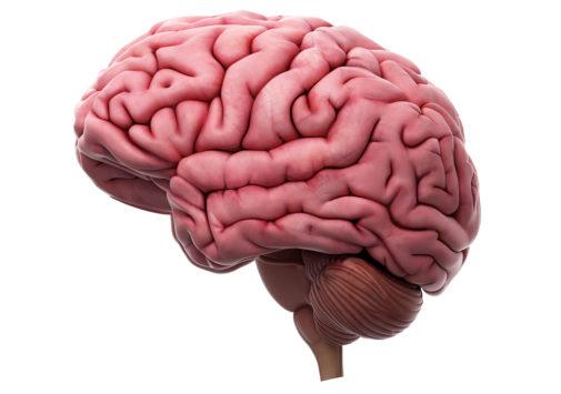 Araştırma insan beyni düzenli ve daha büyük bir form geliştiriyor