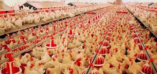 مشروع تربية دجاج برأس مال صغير 2019