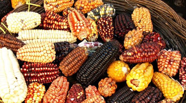 En defensa del maíz