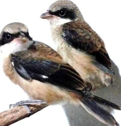 Cara Akurat Membedakan Trotol Burung Pentet Jantan Betina Kicau Mania