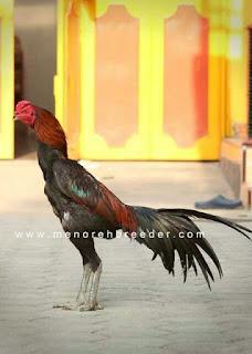Jenis jenis ayam suro