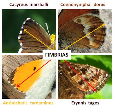 Fimbrias de las mariposas