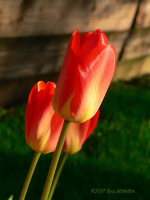 Scarlet beauties. ©2017 Tina M.Welter Low morning light plus a little shade equals gorgeous tulip photo!