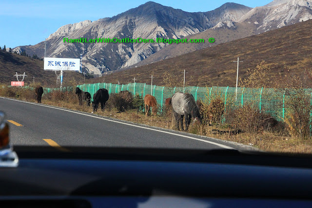 Tibetan horses grazing on the side of the road, Sichuan, China