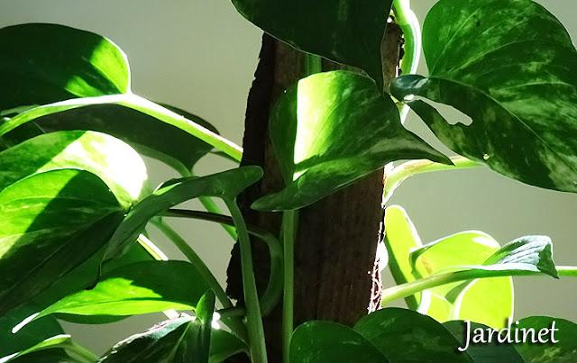Planta jiboia na sala de estar