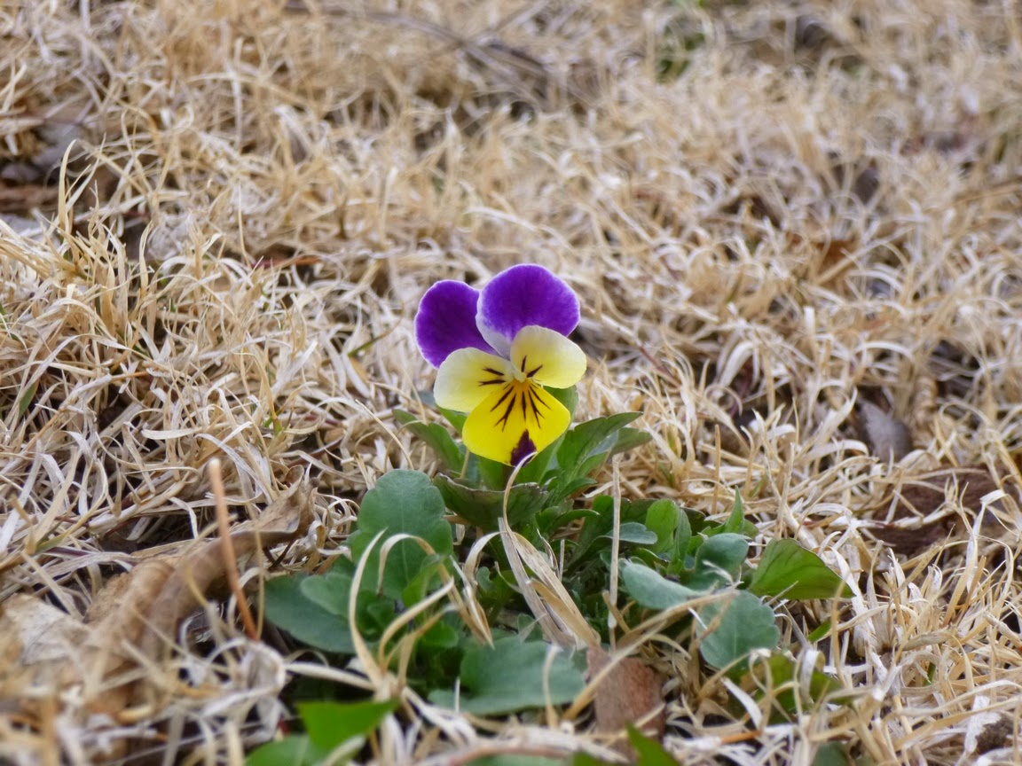 Viola tricolor, Johnny Jump Up