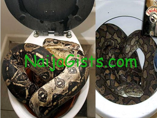 live python snake in toilet germany
