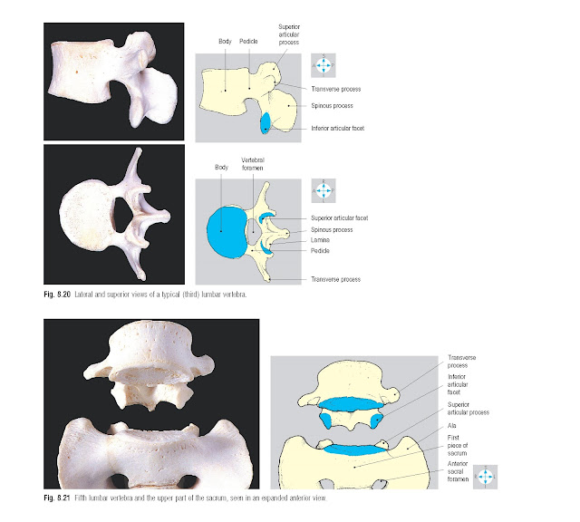 Lateral and superior views of a typical (third) lumbar vertebra.