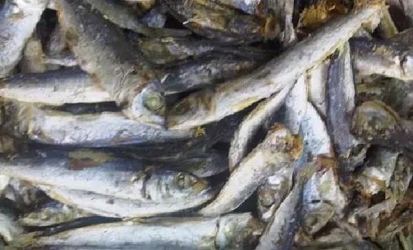 Cara mengurangi rasa asin pada ikan asin ini sangat mudah