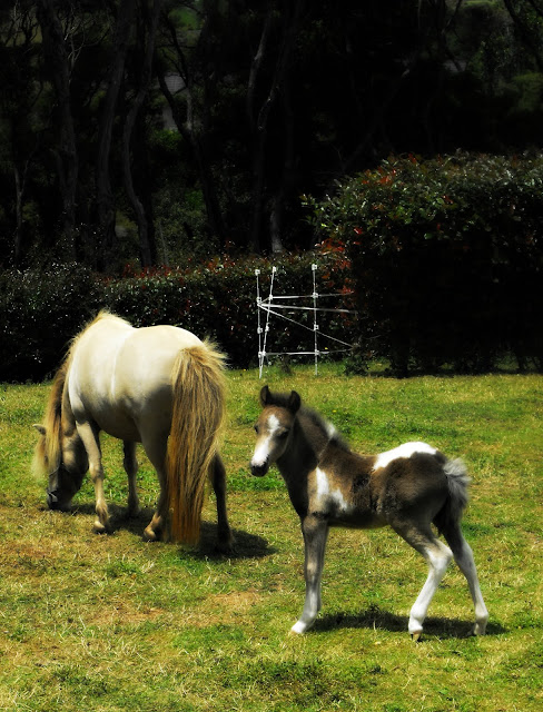 Victoria the miniature white horse and her foal Coal