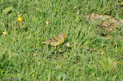 Llucareta (Carduelis citrinella)