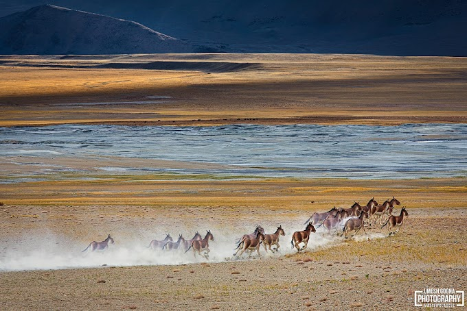 A fleet of Tibetan Wild Asses at Tsokar, Ladakh UT, India