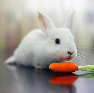 Makanan / Pakan Kelinci