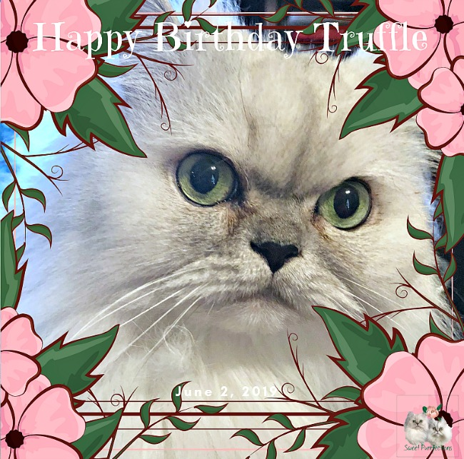 Truffle, silver shaded persian, celebrates 8th birthday