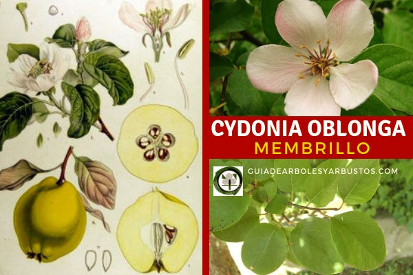 Cydonia oblonga, membrillo es un árbol nativo de Cydonia una ciudad de la antigua Creta