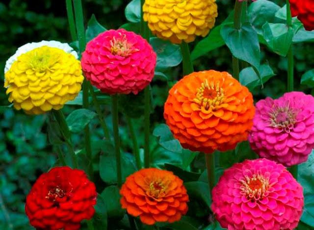 Resultado de imagem para flores Zinnia