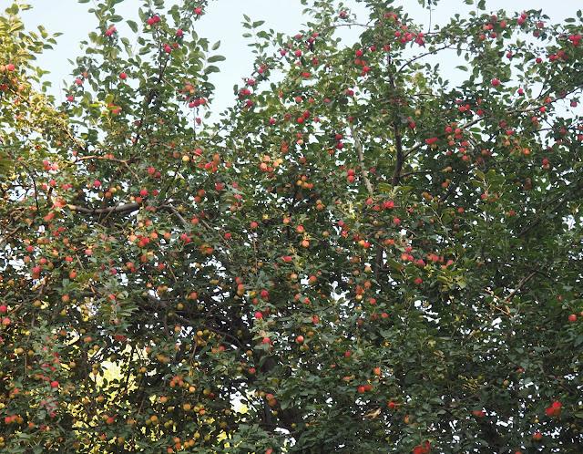 Новосибирск, Нарымский сквер – яблоки (Novosibirsk, Narymsky square – apples)