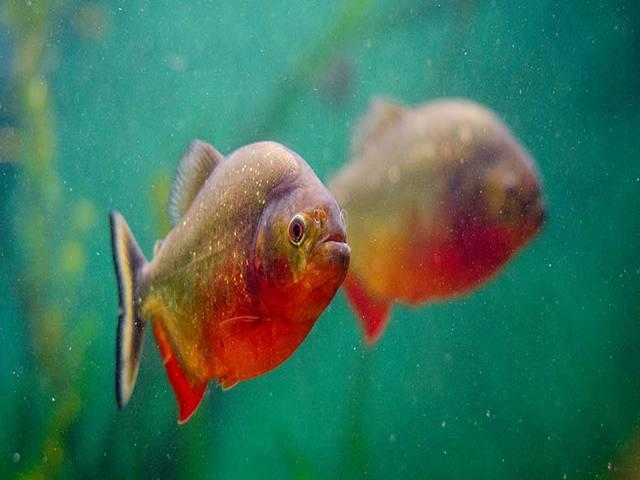 Gambar dan Ikan Hias Kecil
