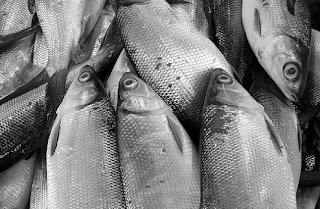 cara budidaya ikan bandeng agar cepat besar,cara budidaya ikan bandeng air payau,cara budidaya ikan bandeng air tawar,makalah budidaya ikan bandeng,proposal budidaya ikan bandeng,