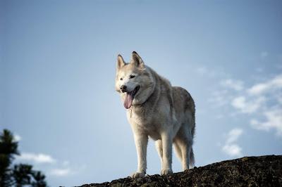 cara merawat mantel bulu Anjing Siberian Husky